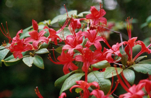Plumleaf azalea red flowers