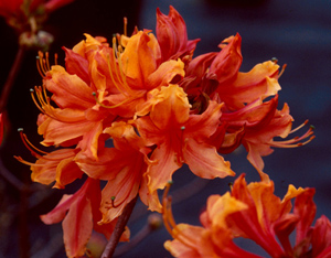 Stonewall Jackson redish-orange flowers
