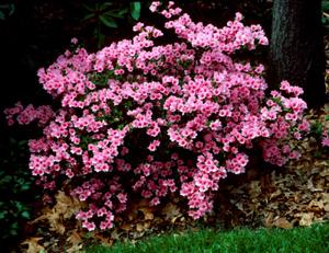 Coral Bells pink flowers