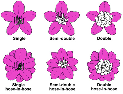 illustration of single, semi-double, doubl, single hose-in-hose, semi-double-hose-in-hose, and double hose-in-hose flower forms