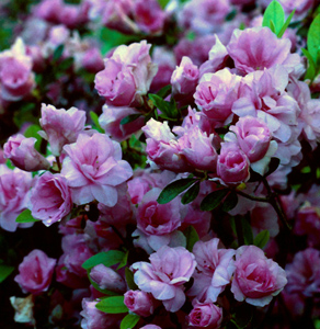 Rosebud purplish-pink flowers