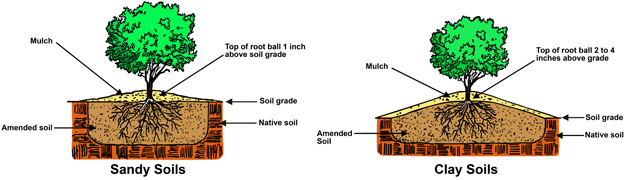illustrated diagram of proper planting depths. In sandy soils, the top of the root ball should be 1 inch above the soil grade and covered with mulch. In clay soil, the top of the root ball should be 2 to 4 inches about the soil grade and covered in mulch.