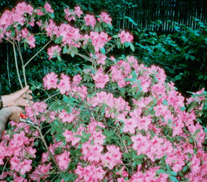 photo showing an azalea with flowers being pruned.