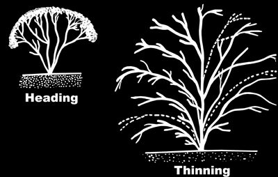 Illustration showing the difference between heading and thinning