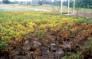 Azaleas dying in poorly-drained soil.