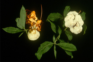 Azalea leaf gall symptoms