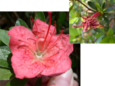 Azalea petal blight symptoms