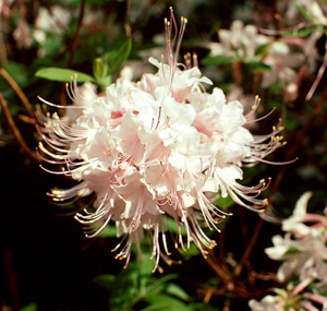 Piedmont azalea light pink flowers