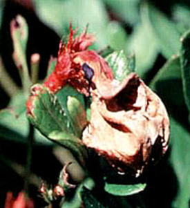 Azalea petal blight sclerotia symptoms