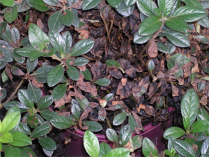 Rhizoctonia web blight symptoms