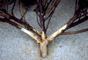 Phytophthora root rot symptoms