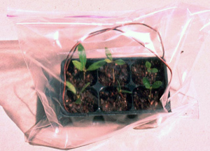 plastic zip bag over transplants