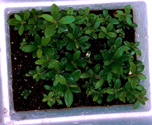 Flat of rooted cuttings