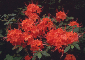 Flame azalea red flowers