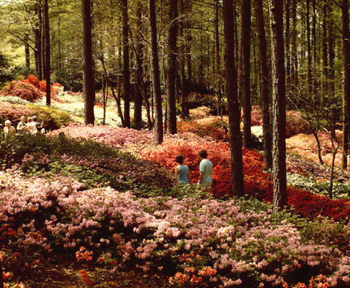 Azaleas in bloom at Callaway Gardens