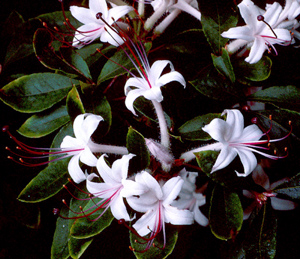 Sweet or Smooth azalea pinkish-white flowers