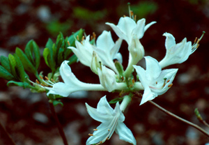 Coastal or Dwarf azalea white flowers
