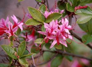Pinxterbloom azalea pink flowers