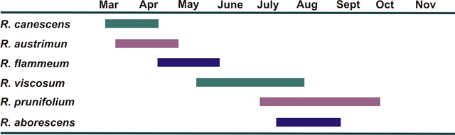 Bar graph showing months that native azaleas bloom: R. canescens flowers March to April; R. austrimun flowers mid-March to end of April; R. flammeum flowers late April to early June; R. viscosum flowers mid-May to mid-August; R. prunifolium flowers July to mid-October; R. aborescens flowers late July to end of August.