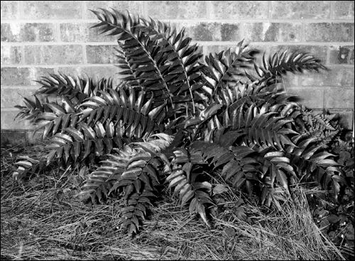 established holly fern