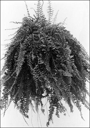 Roosevelt fern
