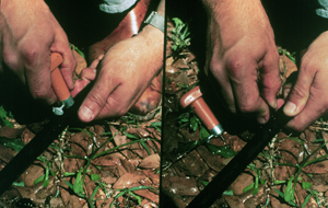 Figure 2. Installing an emitter on an above-ground lateral line.