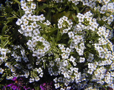 Alyssum