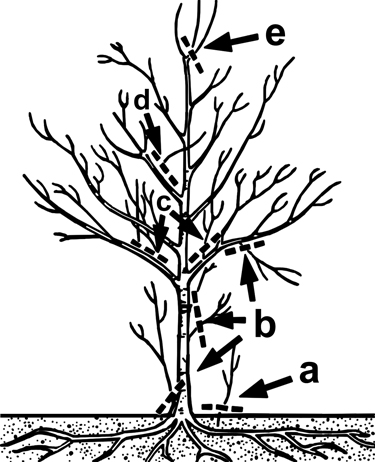 Figure 10. Remove suckers originating from below-ground roots (a), low-growing branches that interfere with maintenance (b), upright growing shoots or watersprouts (c), branches that grow inward or rub other branches (d), and branches that compete with the central leader for dominance (e).