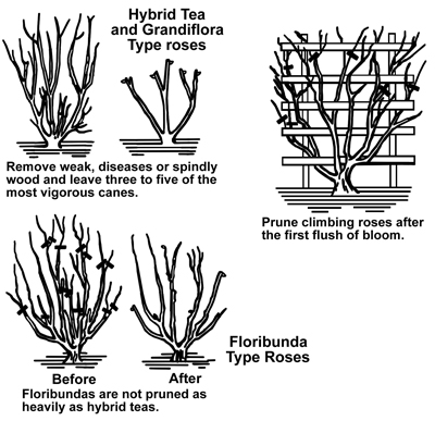 Drawings showing pruning cuts on Hybrid Tea and Grandiflora Type roses, Climbing Roses, and Foribunda Type Roses.