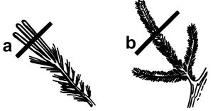 Figure 12. Pruning Conifers. You can temporarily control the size of conifers by pruning the young, vigorous growth (candles) during the spring (a) or by pruning back to an inner bud (b). Avoid cutting into older wood.