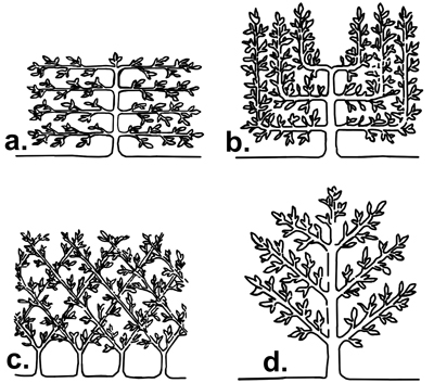 Figure 14. Some common formal espalier patterns are Tiered or Horizontal T.