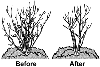 Comparison of before and after tree form pruning.
