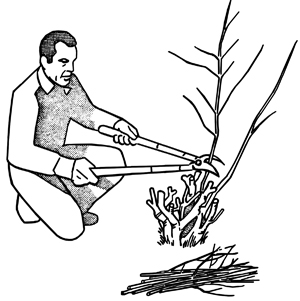 Man severely cuts branches of shrub