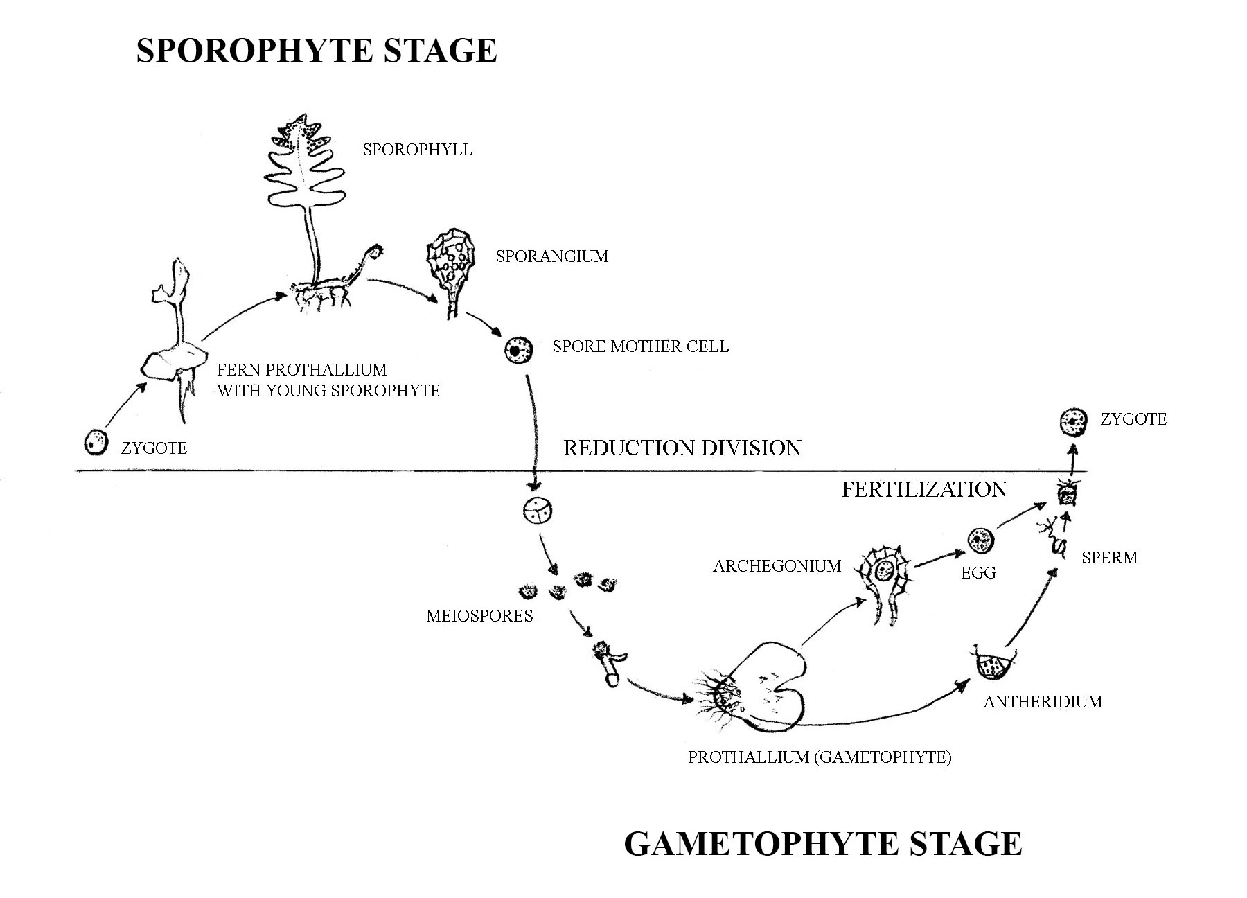 Fern life cycle. Sporophyte stage: Zygote to fern prothallium with young sporophyte to sporophyll to sporangium to spore mother cell. Gametophyte stage: Reduction division to Mesospores to prothallium (gametophyte) to archegonium to egg and antheridium to sperm then to fertilization.