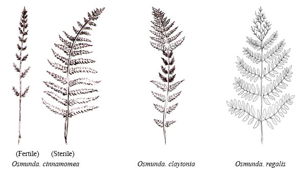 Illustrations of dimorphic fronds: Osmunda. cinnamomea, Osmunda. claytonia, and Osmunda. regalis.