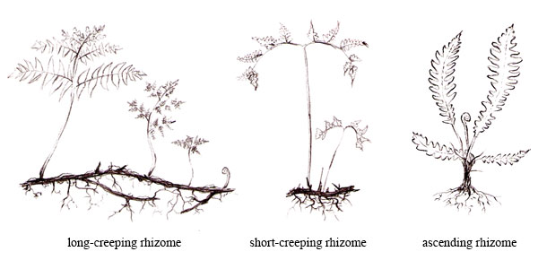 Illustrations showing long-creeping rhizome, short-creeping rhizome, and ascending rhizome habits.