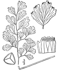 Drawing of adiantum capillus-veneris plant parts