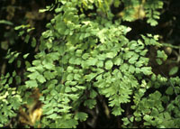 photo of adiantum capillus-veneris