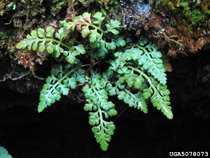 photo of asplenium montanum