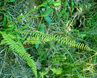 photo of asplenium platyneuron