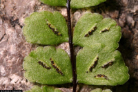 close up of asplenium trichomanes sori