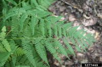photo of athyrium asplenioides