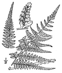 drawing of athyrium asplenioides plant parts