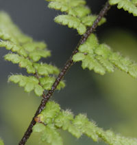 photo of cheilanthes lanosa