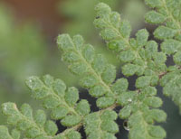 photo of cheilanthes tomentosa