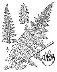 drawing of dennstaedtia punctilobula plant parts