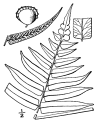 drawing of diplazium pycnocarpon plant parts