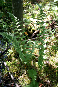photo of dryopteris cristata