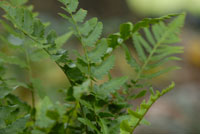 photo of dryopteris X australis