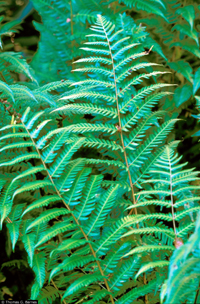 photo of dryopteris goldiana